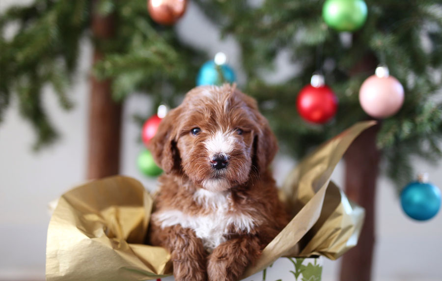Goldendoodle Puppies for Sale in Utah