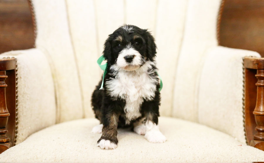 Bernedoodle Puppies for Sale in Utah