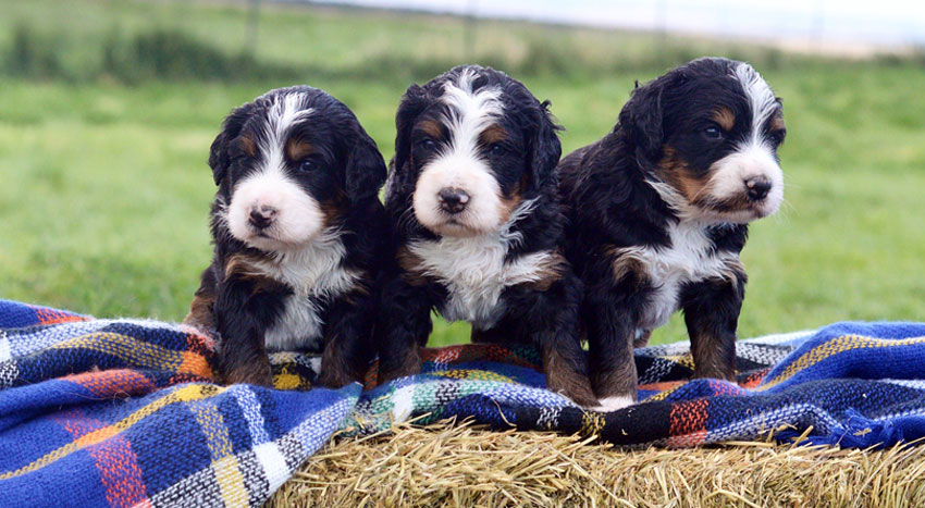 Bernedoodle Puppies By Mountain Blue Doodles In Utah