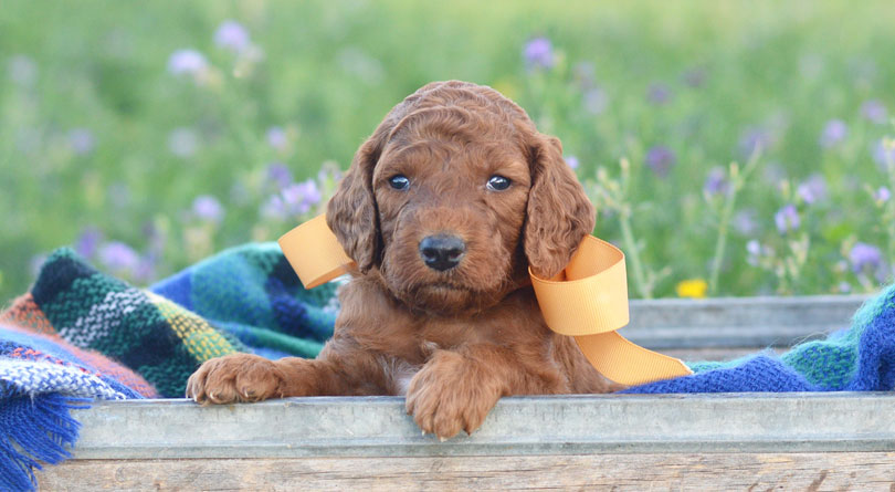 Irish Doodle Puppies for sale in Utah