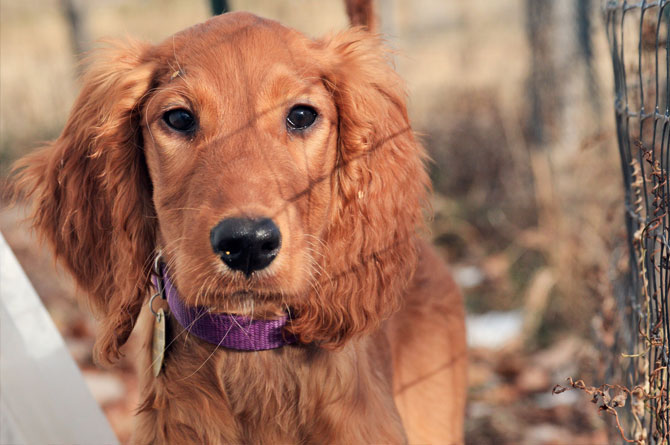 Irish Doodle and Goldendoodle Puppies for Sale