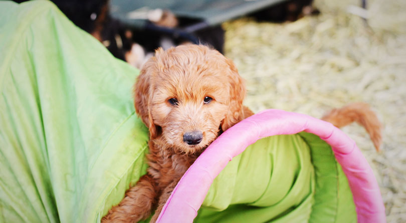 Irish Doodle Puppies in Utah