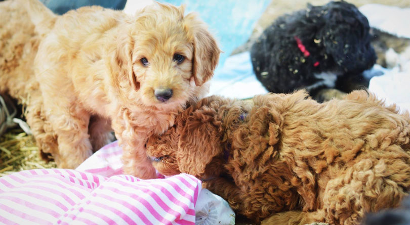 Irish Doodle Puppies for sale