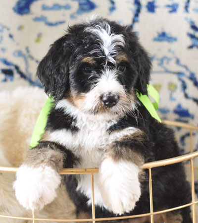 Bernedoodle Puppy from Mountain Blue Doodles in Utah